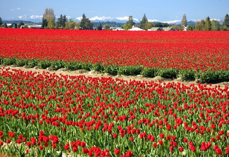 Stunning landscape of a massive expanse of red tulip fields with Olympic mountain range in the background and blue skies.  Taken in Skagit Valley, Washington. Stock Photo - 4802414