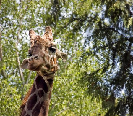This photo is a giraffe with its head up in the trees with its beautiful long eyelashes looking at the camera.