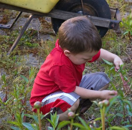 This 5 year old little Caucsian boy is doing his chores by pulling weeds. photo