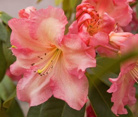 pinks: Closeup photo of a soft pastel colored rhododendron flower for a gorgeous floral shot.