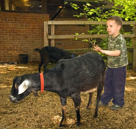 hesitant: This young 5 year old Caucasian boy is hesitant about petting this black goat. Stock Photo