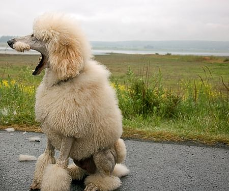 This humorous photo of a standard white poodle is with its mouth wide open and beautiful landscape in the background.