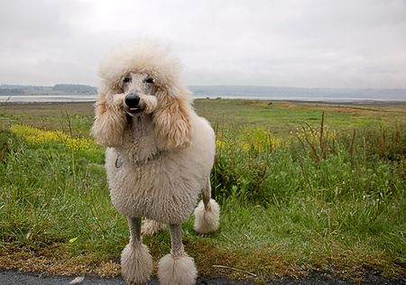 standard poodle: This white standard poodle appears as tho hes smiling with his tongue sticking slightly out and his mustache cut.  Beautiful seascape in the background.