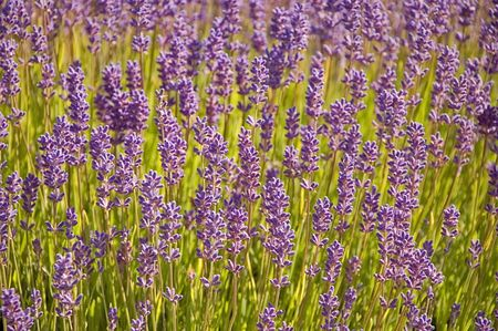 sooth: Photo close up of many purple lavender plants in full bloom. Stock Photo