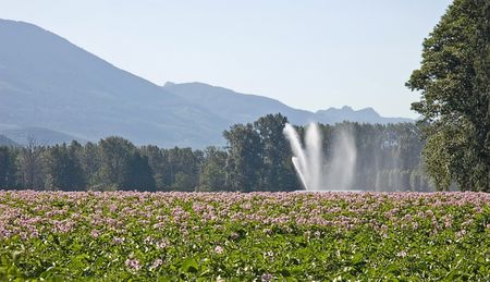This rural field of potatoes is set against beautiful mountains in the background and is being irrigated by a large sprinkler with cool patterns of the water falling. Stock Photo