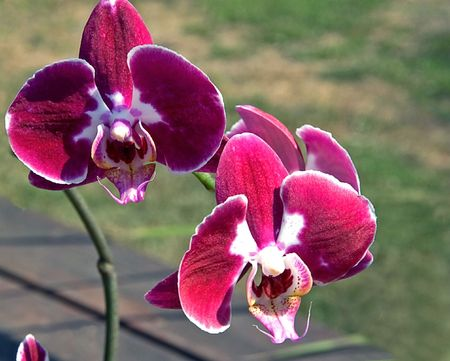 This is a rare colored orchid with stunning patterns of burgundy, reds and whites. photo