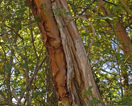 bark peeling from tree: This closeup is a madrona tree that is famous for its unique properties of its peeling bark. Stock Photo