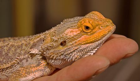 This photo is a bearded lizard lying on a person's hand. Stock Photo - 5327354