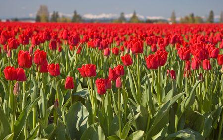 Dit schot is een massieve rode tulp veld in de ochtend met bergen en wazige hemel op de achtergrond voor een visueel verbluffende foto.