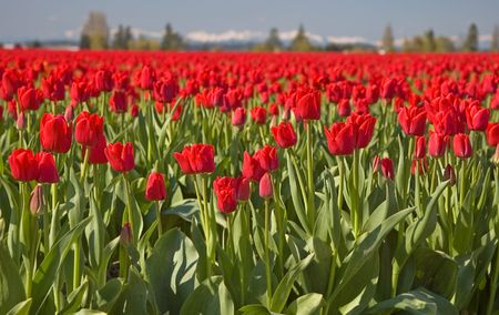 visually: This shot is a massive red tulip field in the morning with moutains and hazy sky in the background for a visually stunning photo.