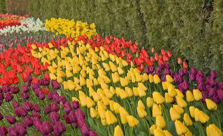Deze lente foto heeft golven van gevarieerde gekleurde tulpen, paars, geel, rood, wit en meer voor een visueel vangst schot.