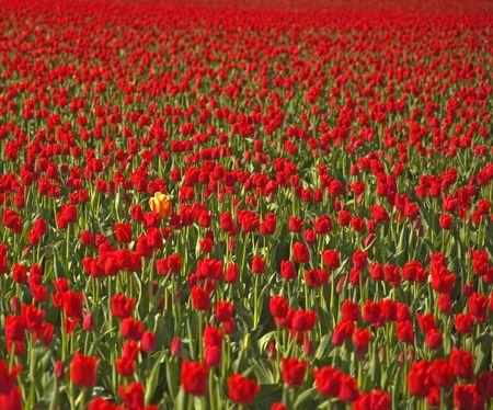 Este solitario multi coloreada amarillos de los Tulipanes destaca entre un mar de rojos de los Tulipanes en cuanto se puede ver el ojo, representando el concepto de ser diferentes.