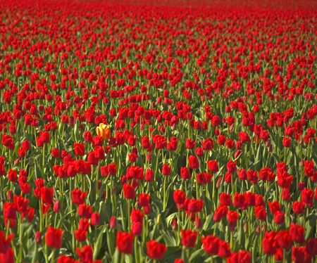 different: This lone multi colored yellow tulips stands out among a sea of red tulips as far as the eye can see, depicting the concept of being different.