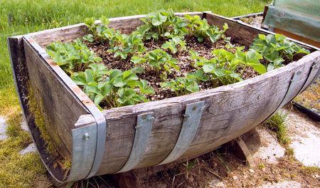 Este ca��n antiguo reducir a la mitad, tambi�n sirve como un parche de fresa r�stico para una �nica idea para jardineros.