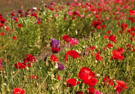 reds: This photo is a massive field of poppies of reds, pinks and purples for a gorgeous landscape.