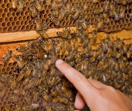 Photo shows an active honey bee hive, with a finger pointing out the queen bee of the hive.