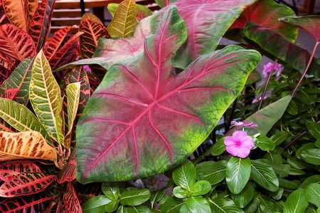 pinks: This photo shows bright colored foliage Caladium of tropical plants and small impatien flowers. Stock Photo