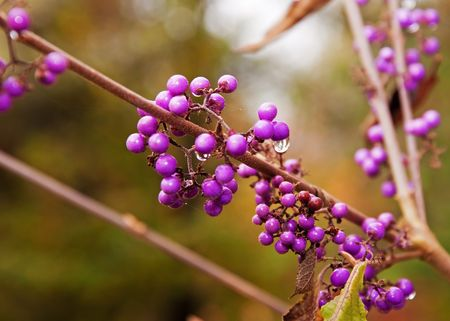 This macro nature shot is a raindrop about to fall off a set of purple decorative berries. 版權商用圖片