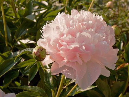 This floral has one large pale pink peony flower in full bloom with raindrops on it on its natural garden setting. Stock fotó