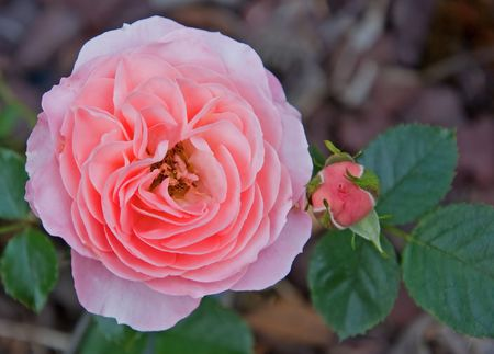 hints: old fashioned double pink rose with hints of peach and is double ruffled.