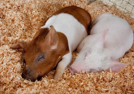 This photo shows two cute piglets sleeping next to each other is fresh wood shavings.