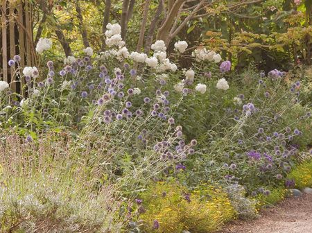 This late summer casual garden scene shows blue globe flowers, white phlox, lavender and other cottage type plants.  Background in intentionally blurred for artistic effect. photo