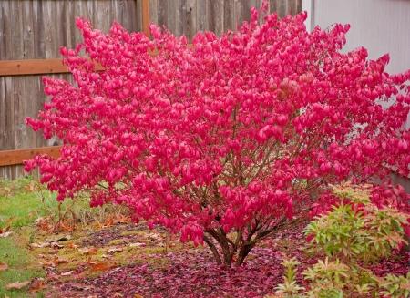 Este gran arbusto rojo de ardiente es en llamas en su esplendor con follaje de oto�o rojo brillante.