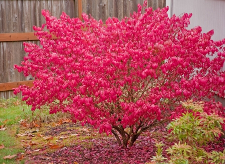 This large red burning bush is aflame in its glory with bright red autumn foliage. Archivio Fotografico