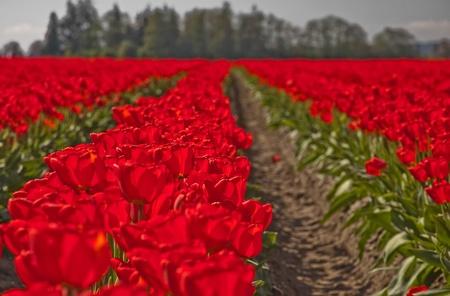 as far as the eye can see: This landscape springtime image is a large field of red tulip flowers as far as the eye can see, with trees in the background.  Background is intentionally blurred for artistic effect.