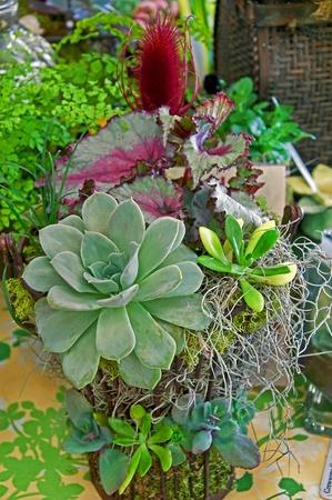 Este hermoso arreglo de plantas raras tiene un Echevaria Foto de archivo