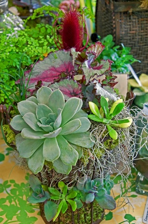 This beautiful rare plant arrangement has a Echevaria