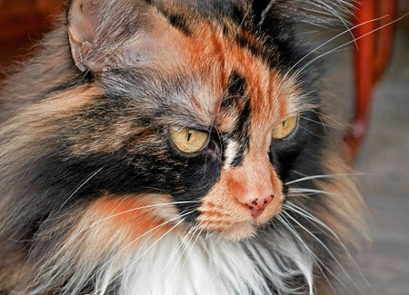 This image is a closeup of a tort colored long haired cat photo