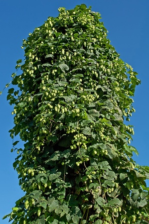 This vertical stock image is hops growing very tall on a supported object, against a bright blue clear summer sky.