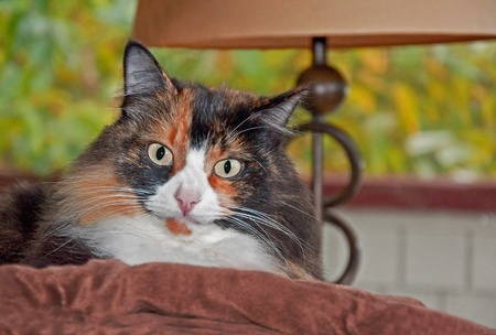 calico cat: This beautiful long haired calico cat with green eyes is relaxing indoors on a brown pillow with a modern lamp in the background.  Background intentionally blurred to emphasize subject.