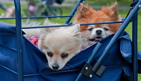 These two puppy dogs, one white, the other tan colored, are peaking out of a blue shopping cart. photo