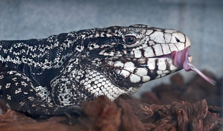 This is a black and white tegu ligard in the middle of catching prey with his tongue curled out in a closeup stock image.  Wood chips are in the foreground of this reptile photo. photo