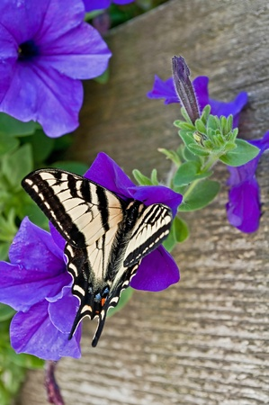 This is a closeup of an Eastern tiger swallow tail butterfly on a purple petunia flower with rustic boards softly in the background for a beautiful effect. photo