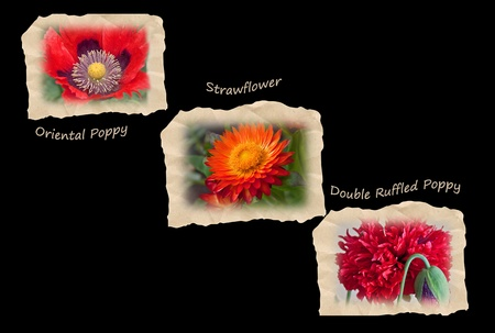 This stock image is displays three red flowers on sepia tattered tiles on a black background.  Flowers are labeled as Oriental poppy, Strawflower and Double Ruffled Poppy. photo