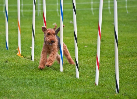 This airedale terrier dog is running in a dog show, through an obsticle course, weaving through poles.  Taken on Sept. 16, 2010 in Oak Harbor, Washington. Stock Photo