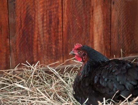 nesting: This horizontal stock image has a black colored laying hen chicken on her nest of straw, with barn boards in the background.
