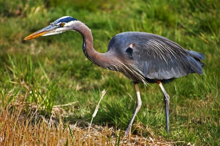 This is an amazing photo of a closeup of a wild blue heron bird. He photo