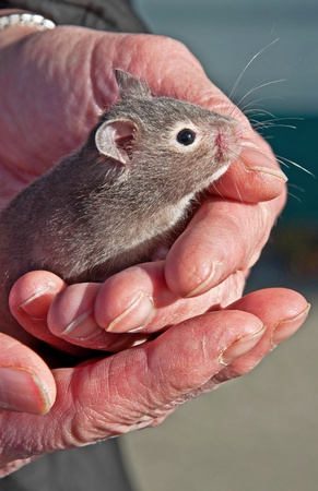 animal body part: This cute pet baby gray hamster is 3-4 weeks old and is being held gently by a closeup pair of hands.