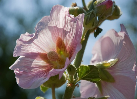 hollyhocks: This floral photo is pale pink hollyhocks backlit for a very light, sheer textured look.  Background is intentionally blurred for artistic effect.