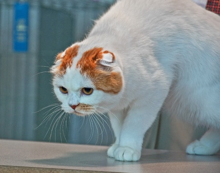 This unique Scottish Fold cat is being judged at a cat show with the blue ribbon in the background.  This fancy breed of feline has cup shaped ears.  This one is white with orange markings around his face.