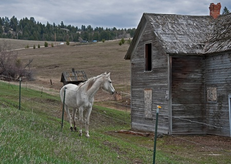 homestead: This country stock image is a white horse looking at an old pioneer homestead building, with windows boarded up and an old chimney falling apart.