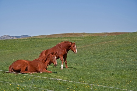 Two chestnut colored quarter horses are waking up from sleeping in their green pastures. photo