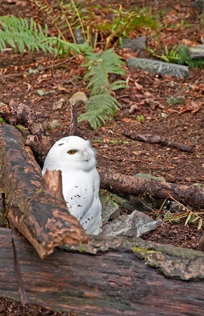 sitting on the ground: This snowy white owl with yellow eyes, stands out starkly against its forest setting.  He is sitting on the ground next to some fallen logs.