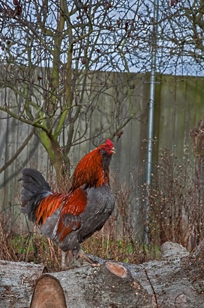 an orange and gray beautiful rooster chicken crowing in the morning, sitting on top of cut tree wood.