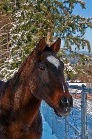 beautiful bay dark brown thoroughbred horse Stock Photo - 11313345