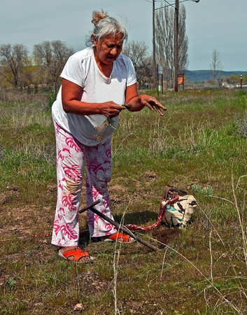 This photo is an elder Native American woman digging for camas (Indian sweet potatoes) in a traditional way with a wood stick tool.  She is a member of the Confedrated Tribes or Oregon and part Wasco, Warm Springs and Yakima tribes.   photo